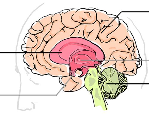 Comment fonctionnent les émotions dans notre cerveau ?